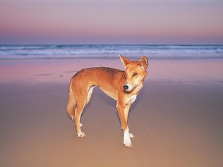 Dingo on Fraser Island (image from Queensland Tourism)