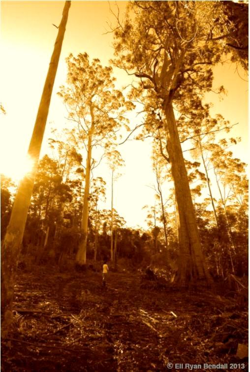 Myall River Forest Old Growth
