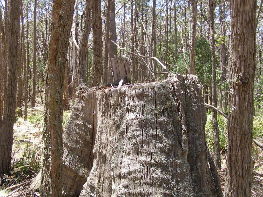Mountain Gum logging
