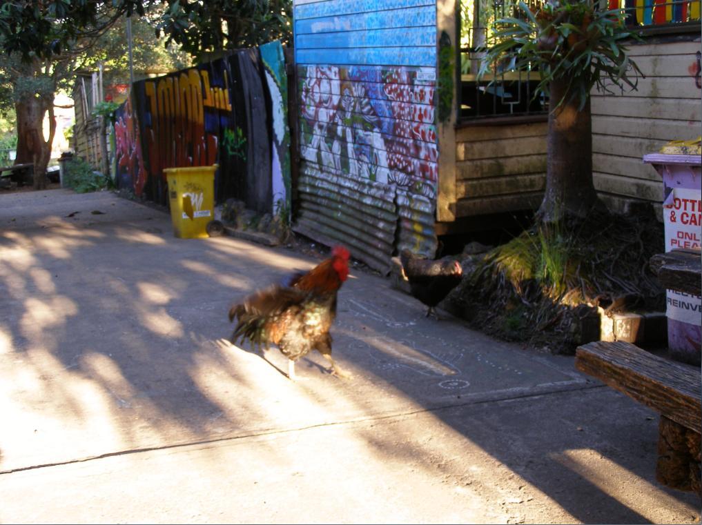 Morning Rooster in Nimbin Laneway