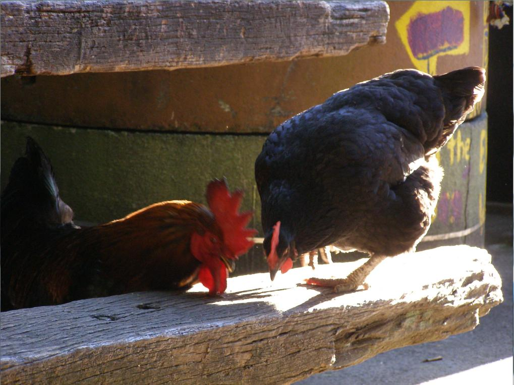 Rooster with Hen in Nimbin Laneway