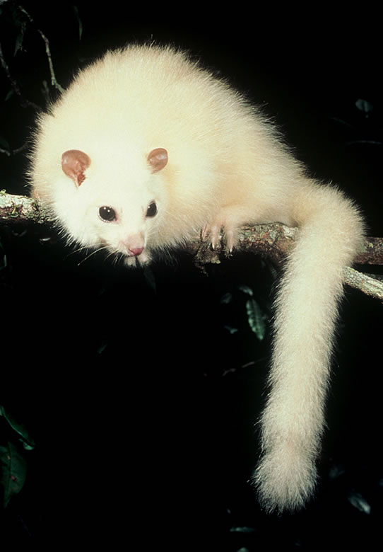 White Lemuroid Possum