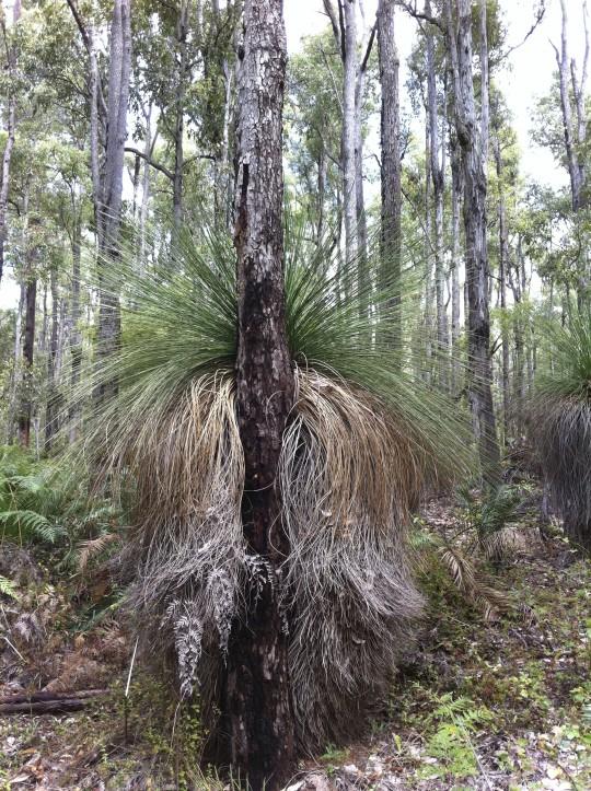 Balga in Noongar boodjar (Dwellingup Forest)